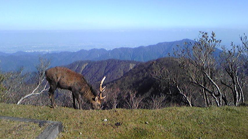 塔ノ岳頂上の鹿。