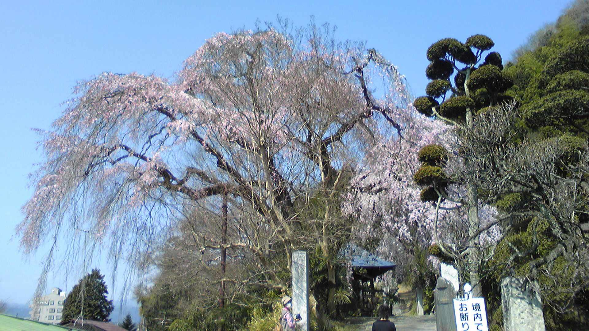 梅岩寺の枝垂れ桜。